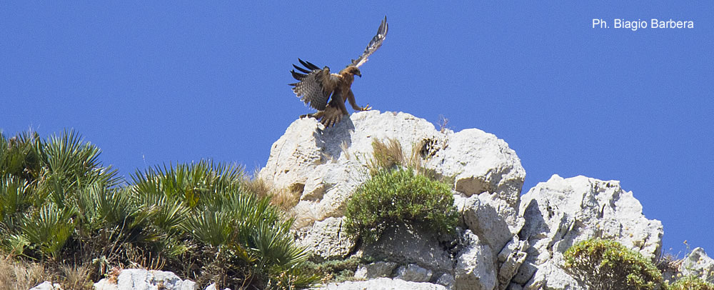 Bonelli's eagle in the Riserva naturale dello Zingaro