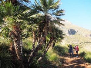 Palme nane lungo i sentieri della riserva naturale zingaro