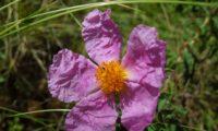 Fiore di Cisto
